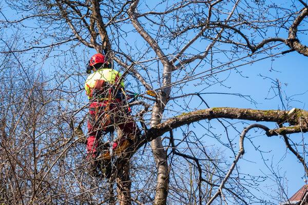 Tree Lightning Protection